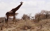 Maasi giraffe outside of the Serengeti