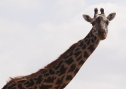 This is a female giraffe. You can tell because her neck hair is long. A male has short neck hair that stands up.