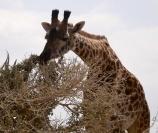 Giraffe snacking