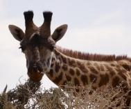 Giraffes have eyelashes. Who knew!