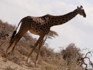 Great pattern on the Maasi giraffe
