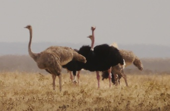 Ostriches are bigger than you'd think.