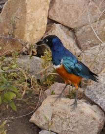 Look at the colors on the Superb Starling!