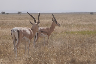 Grant's gazelles have a tan stripe on their sides.