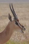Profile of a Grant's gazelle