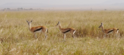 Thomson's gazelles have a black stripe on their sides.