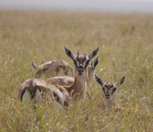 Thomson's gazelles in the grass.