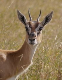 Check out the eyes on this Thomson's gazelle.