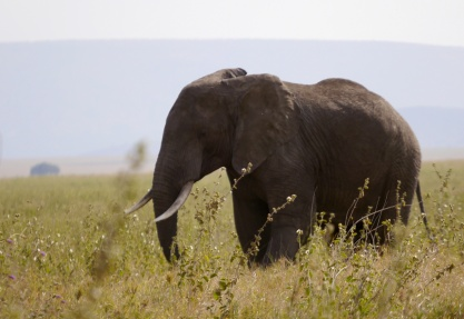 Our first of many African elephants