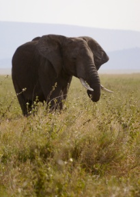 The elephants photograph best with their ears out.
