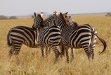 Zebras cluster like this when they feel threatened. It's suppose to confuse the enemy.