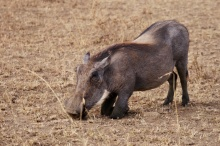 Warthogs kneel to reach their food. They have very short necks.