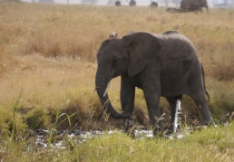 Yes, this baby elephant is taking a leak in the watering hole!