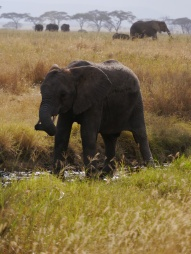 If elephants are so smart, why do they pee where they drink?