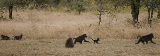 This is a small sampling of the 24 baboons that crossed in front of our campsite shortly after we arrived.