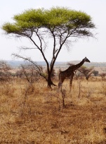Maasia giraffe with Acacia tree