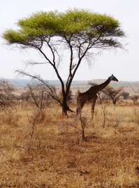 Maasia giraffe with Acacia tree