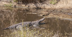 Crocodile in the Hippo Hole, eyeing a bird on the shore