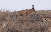 Hartebeest with Thomson's gazelles