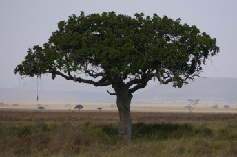 This tree is called a sausage tree.