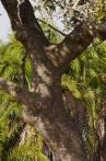 Mother leopard climbing tree