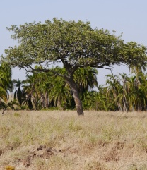 We see a sausage tree; our guide, Malles, see three leopards - a mother and two cubs!