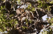 There's two leopards in this photo; there's three leopards in the tree.