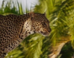 Face of mother leopard
