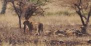 Five lions at a distance