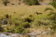 Lioness along the river bank