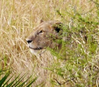 Lioness eyeing prey. The prey happened to be a safari driver washing his rig by the river. He survived.