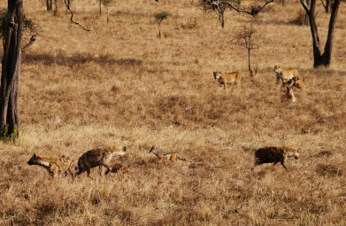 Jackals move in for the scraps.
