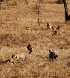Now come the hyenas. At one point, there were six hyenas surrounding the pride.