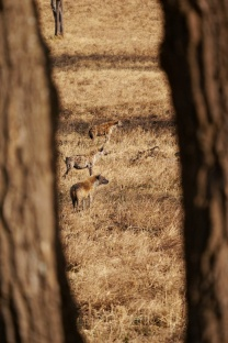 After a warning for the lionesses, the hyenas back off and wait.