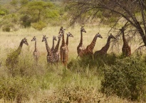 Awesome Maasi giraffes