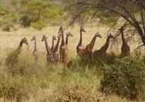 Awesome Maasi giraffes
