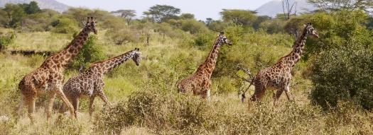 Herd of giraffes on the move