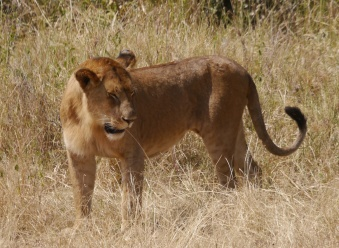 Our guide says men have survived attacks by male lions but not females.