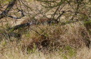 In the brush here, two lions are gnawing on a wildebeest.