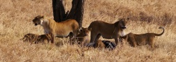 The lions are in no hurry to give up the zebra carcass. It's their show.