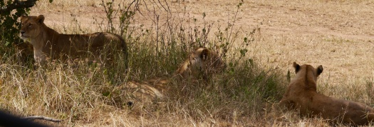 Three lionesses in the grass