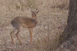 The very small Dik-Dik