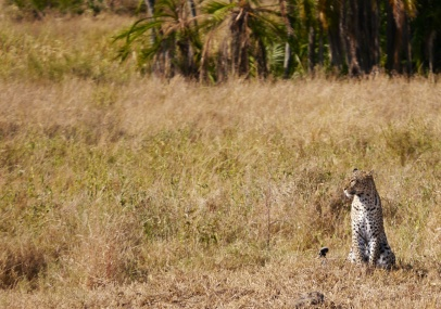 The mother leopard from yesterday... lucky to see her again.