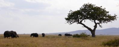 Elephants on the savannah