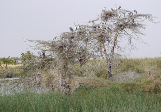 Blue cranes in the tree