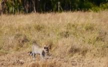 Second cub trailing behind