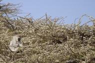 More vervet monkeys munching on flowers