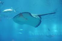 Huge sting ray at the Dubai Aquarium