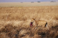 Lioness with fresh kill