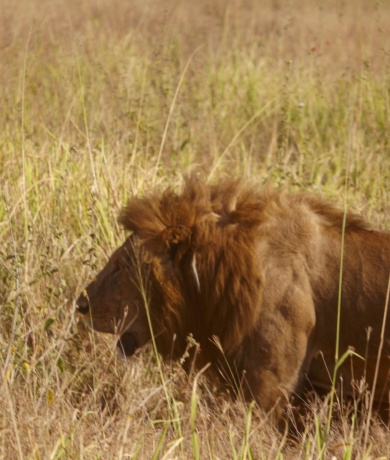 Male lion looking for a shady place to nap